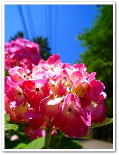 2011-06-22 紫陽花 毛呂山 081