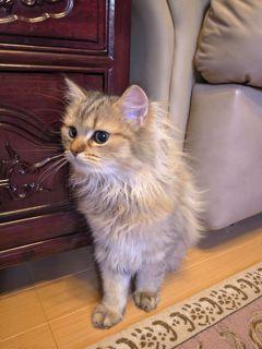 幸子ちゃんちの猫