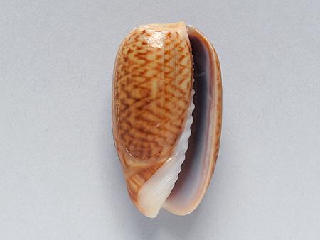 ヘコミマクラ02-腹面