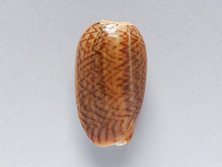 ヘコミマクラ02-背面