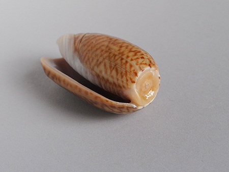 ヘコミマクラ02-殻頂