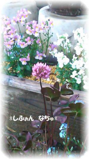 クローバーワインの花