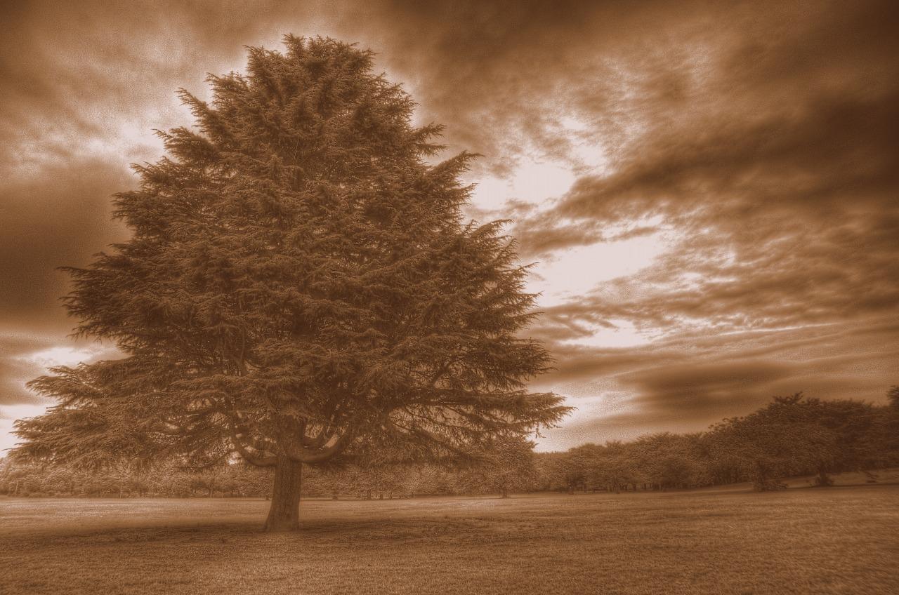 例の木セピア調