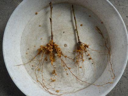根が伸びてます