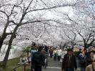 忍池桜20120406-1