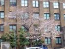 東大桜20120404-2