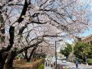 東大桜20120404