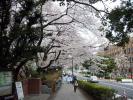 東大桜20120406-1