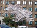 東大桜20120406-2