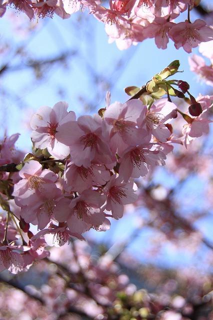 IMG_0795河津桜