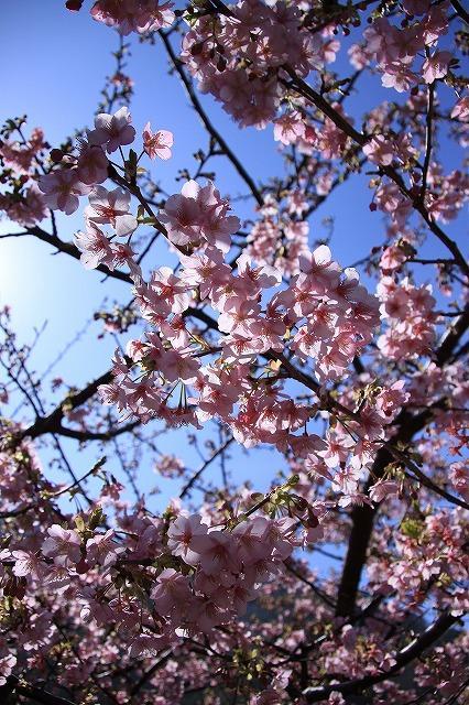 IMG_0797河津桜