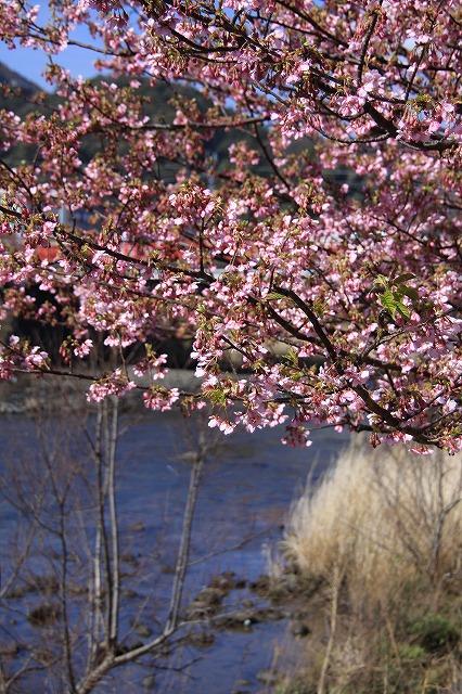IMG_0800河津桜