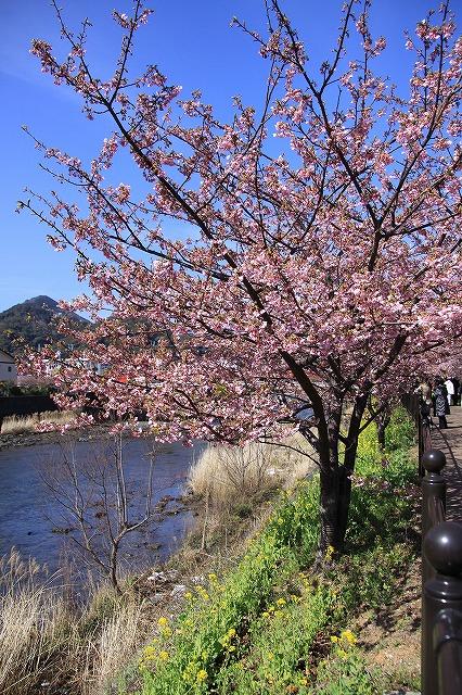 IMG_0802河津桜