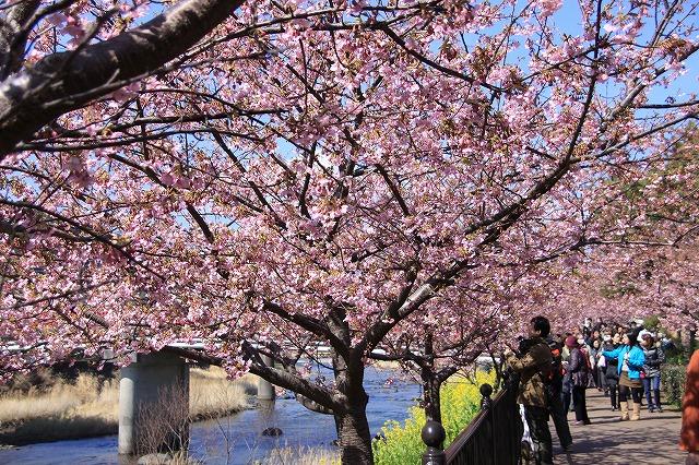 IMG_0805河津桜