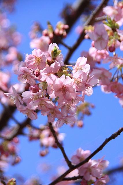 IMG_0810河津桜