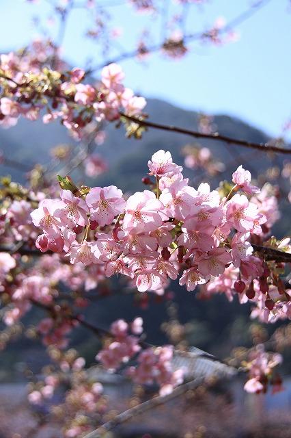 IMG_0813河津桜