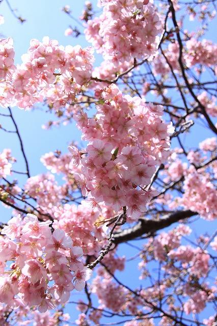 IMG_0817河津桜