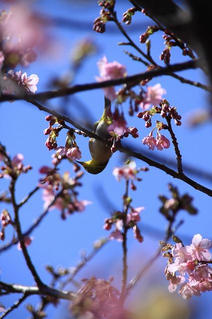 IMG_0833河津桜