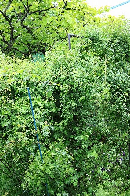 IMG_5446あっちゃんのお庭