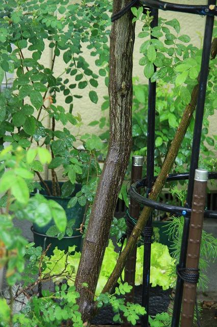 IMG_5495あっちゃんのお庭