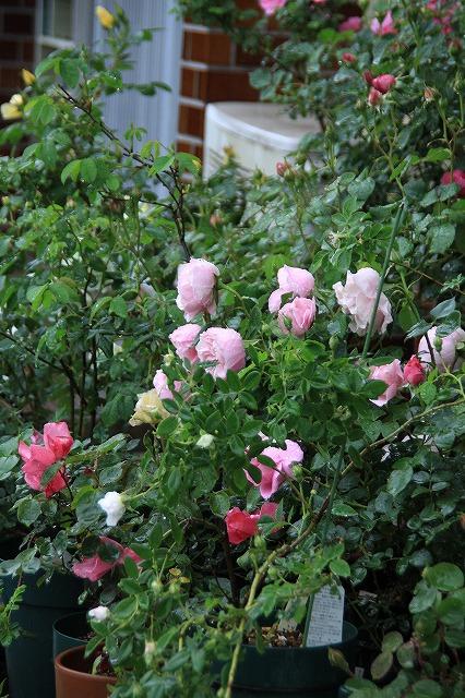 IMG_5502あっちゃんのお庭