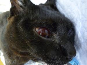 猫の眼球摘出前