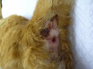 猫の皮脂腺上皮腫 術前