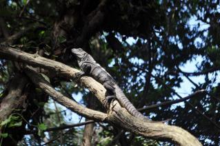 Iguana 近っ!