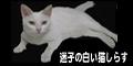 迷子の白い猫しらす
