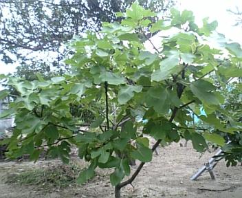 びおれー樹