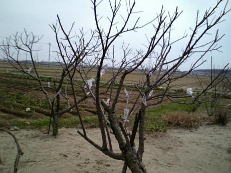 リンゴ接木