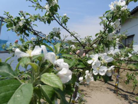 林檎 開花