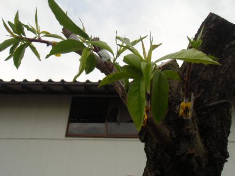 桃多品種5-22