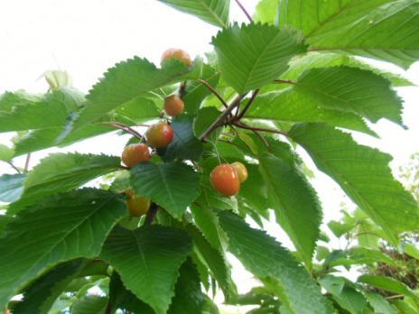 桜桃色ずく1