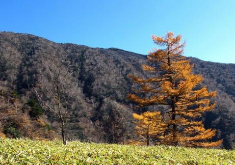 青空とカラマツの黄葉