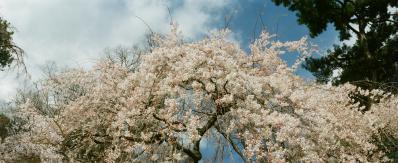 桜_120730