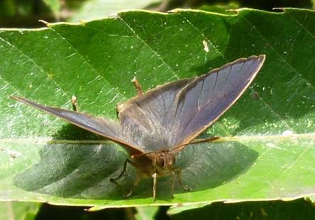 ムラサキツバメ25