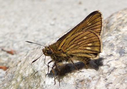 コチャバネセセリ18