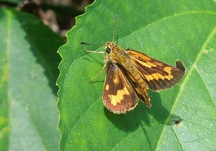 キマダラセセリ35