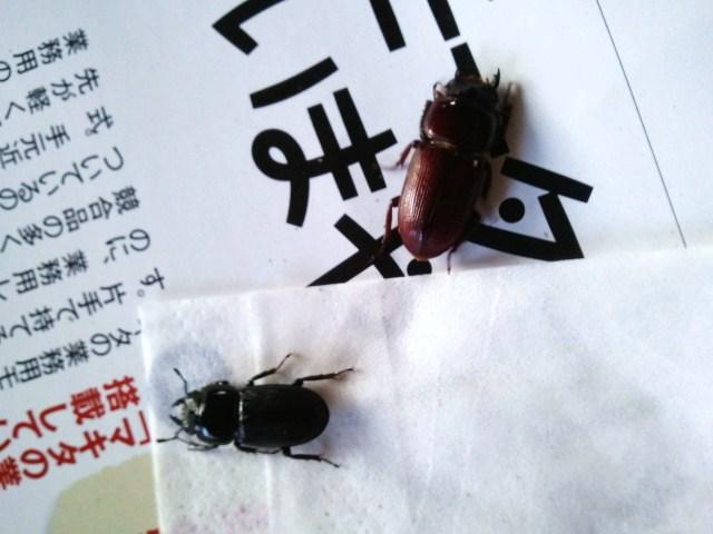 Dorcus musimon female 001