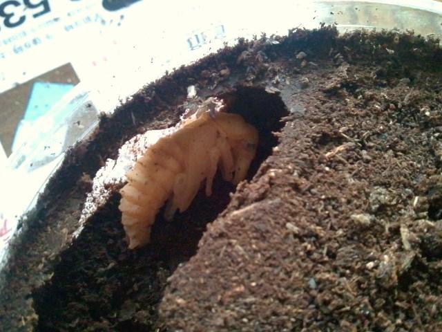 Dorcus musimon male pupa 001