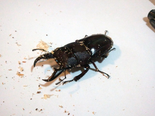 Dorcus titanus daitoensis 001