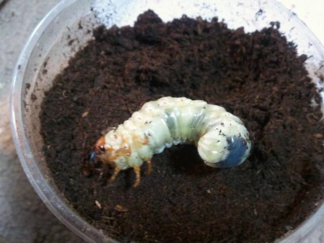 Dorcus titanus karasuyamai larva 001