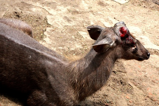 5鹿の角がきられて血まみれ