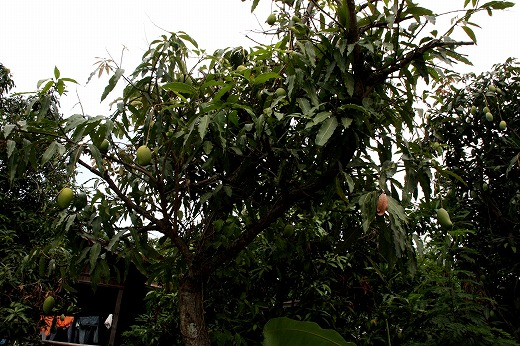 6マンゴーの木