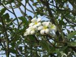 マレーシア プルメリアの木