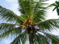 マレーシア 椰子の木