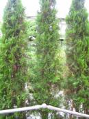 玄関前の木 アフター
