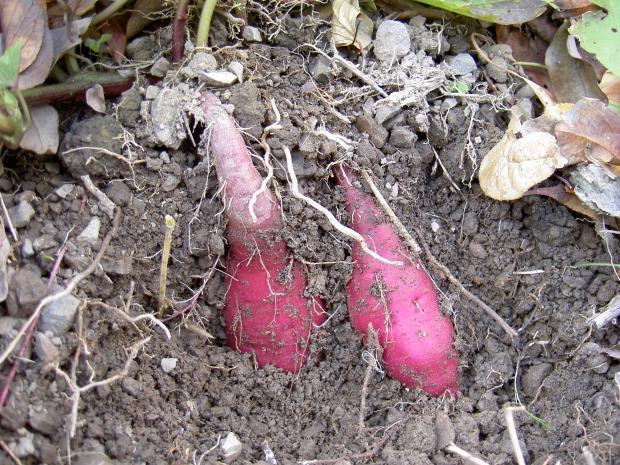8月16日に苗を定植後88日、芋が入っている