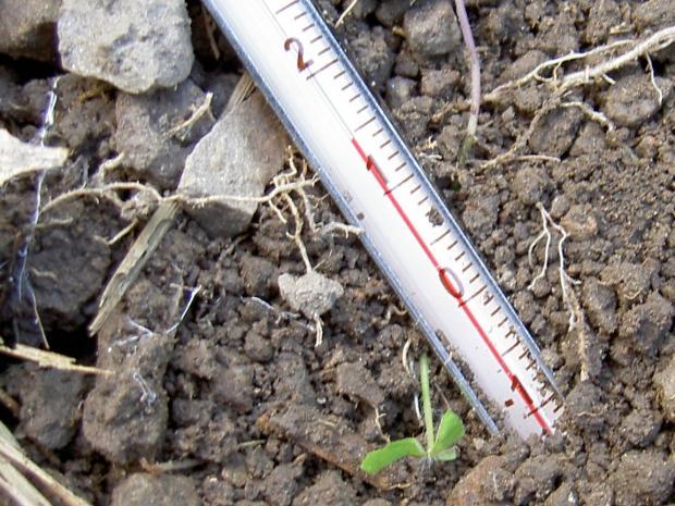 サツマイモの株元の地温は14.5度